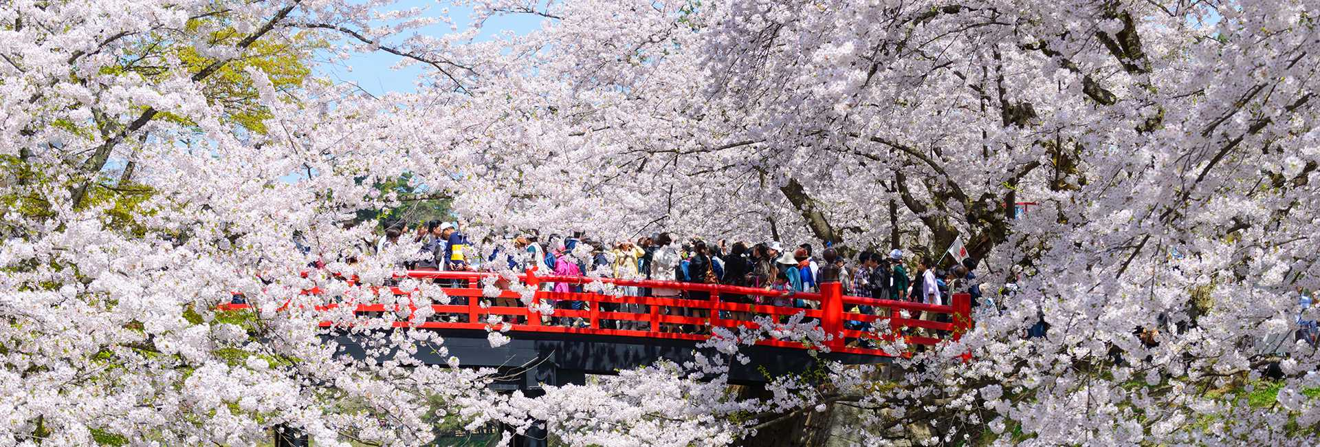 cherry blossoms in Hirosaki
