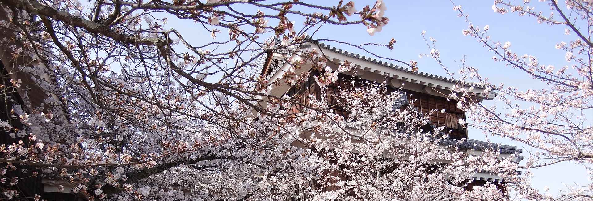 Matsuyama castle and cherry blossoms