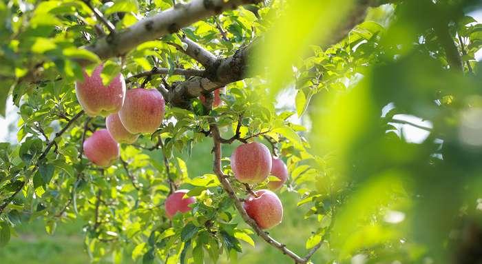 parc des pommes de hirosaki