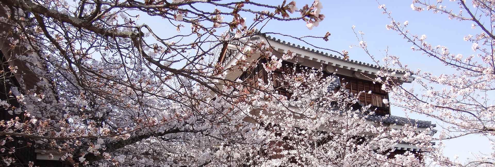 château de Matsuyama et cerisiers en fleurs