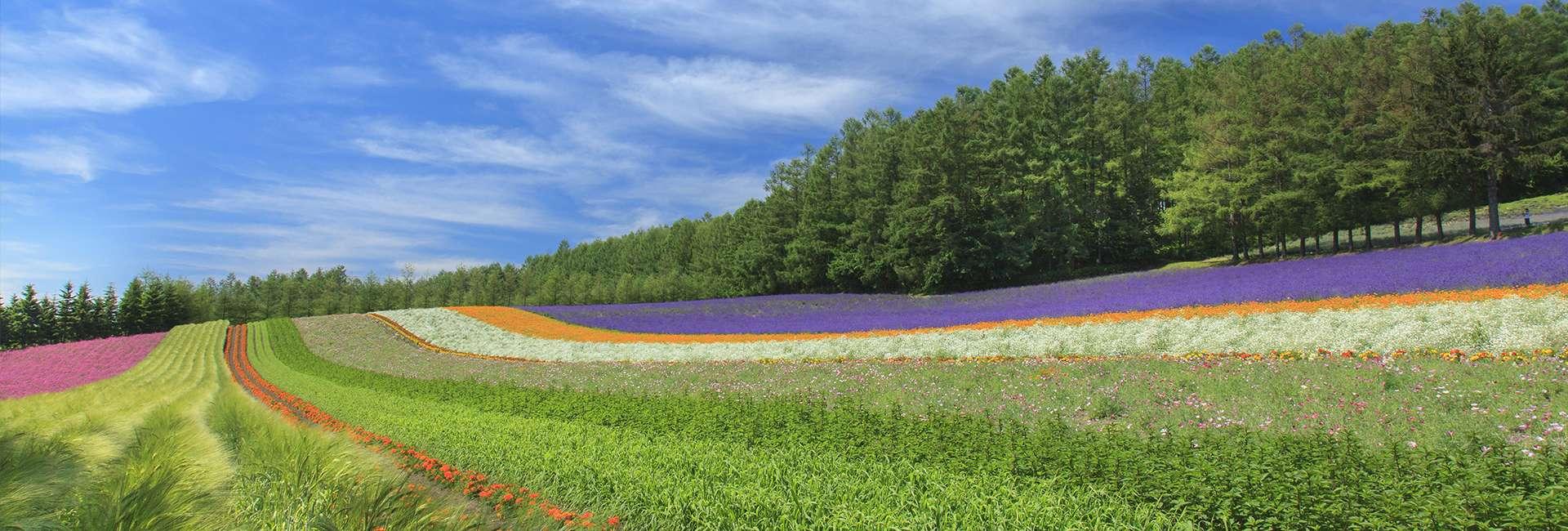 champs de fleurs à Furano