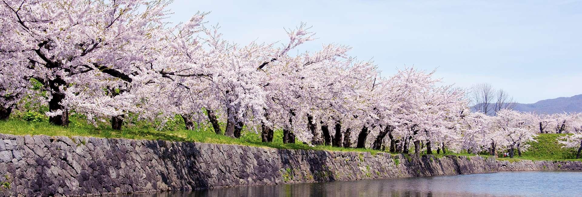 cerisiers en fleur à Hakodate
