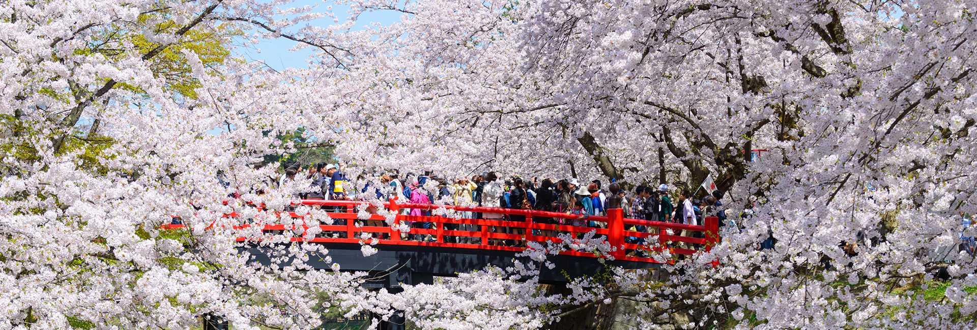 cerisiers en fleurs à Hirosaki