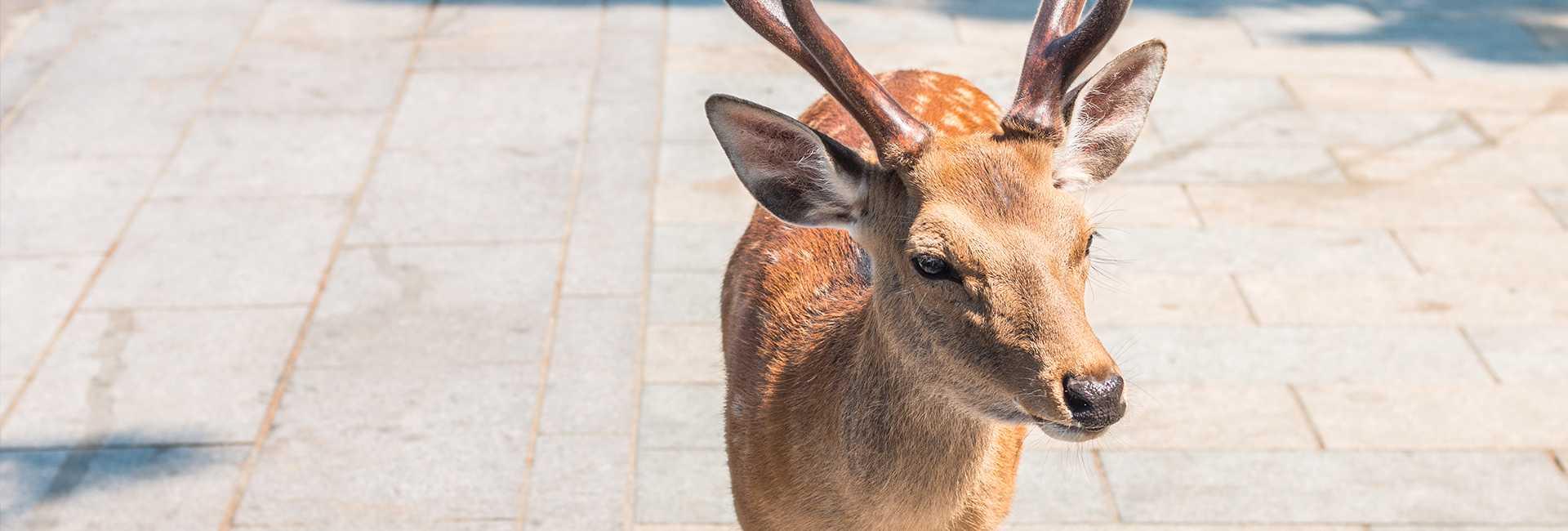 cerf à Nara