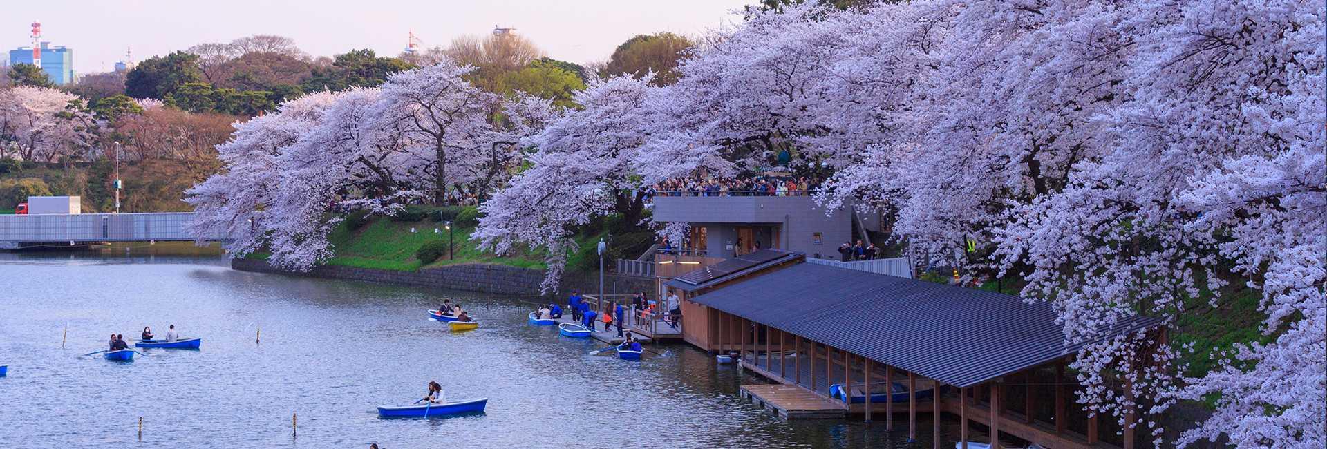 fiori di ciliegio a Tokyo