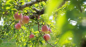 Parco delle mele di Hirosaki
